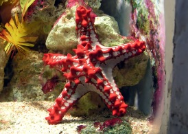 The red-knobbed starfish (Protoreaster linckii).