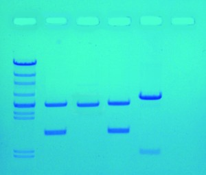 DNA Fingerprinting by PCR Amplification ©Edvotek 2014