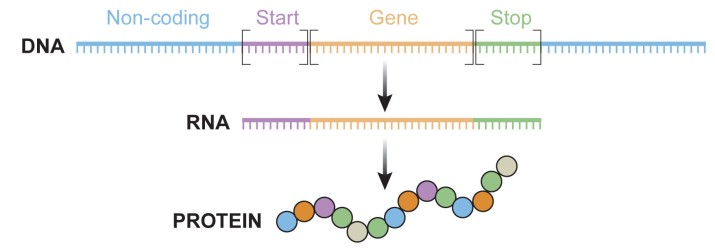 The central dogma - DNA encodes RNA, which is turn is translated into proteins.