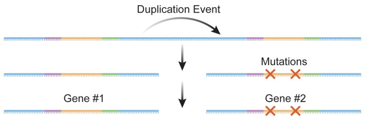 Duplication events can lead to the formation of novel genes.