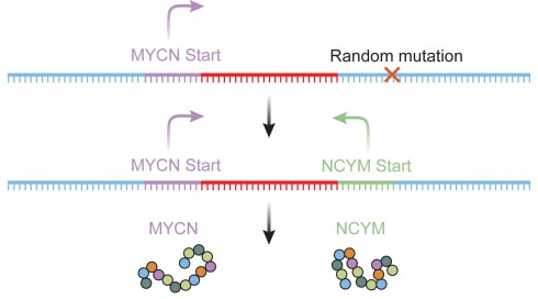 The de novo mutation that produces the NCYM gene.