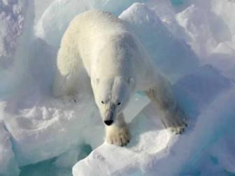 The polar bear, Ursus maritimus, enjoys a fat-rich diet yet does not suffer from heart disease. Photo ©USGS