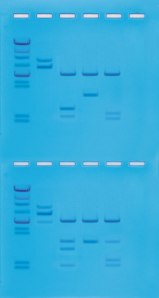 Cleavage of DNA with Restriction Enzymes ©Edvotek 2014