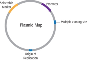 Figure 2: Plasmid Features.