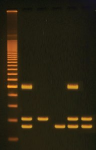 PCR Amplification of DNA sequences used in GM organisms.  ©Edvotek 2014