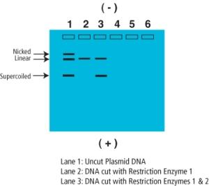 Figure 3: Plasmid Confirmations. ©Edvotek 2014