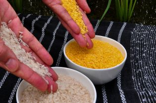 Appearance of white rice (L) versus Golden rice (L).  The golden color comes from beta-carotine.  © IRRI