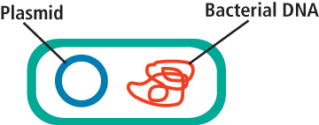 Figure 1:  A bacterial cell containing a plasmid.