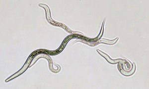 Learn about pollution in ecosystems with C. elegans!  ©Edvotek 2014