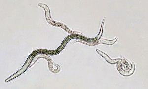 C. elegans is a common model organism  ©Edvotek 2014