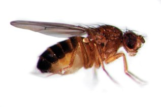 The tiny fruit fly D. melanogaster is a powerful tool for studying genetics!  ©Edvotek 2014