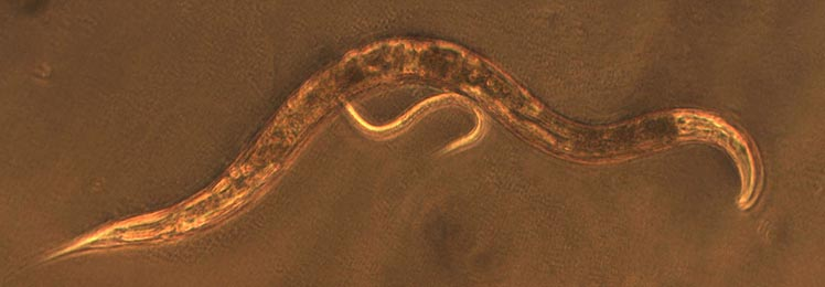 Why Is C  Elegans So Popular In The Biology Laboratory