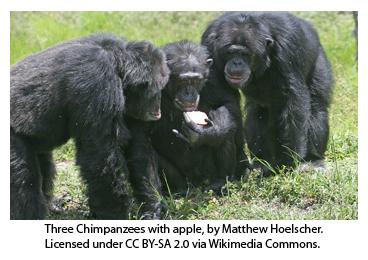 NEWS_3.9.15_Chimpanzees_Fig1.jpg