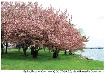 NEWS_3.24.15_DC-Cherry-Blossoms